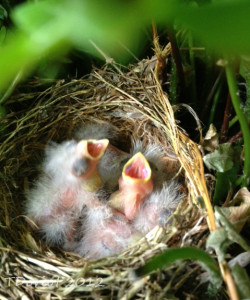 The baby wrens with their mouths open waiting for food.