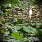 white Ibis on the lake with green lily pads