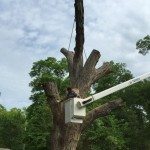 White Oak Tree removal