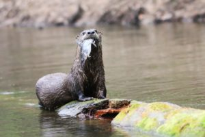 a brown river otter sitting on a brown and yellow moss coverd log eating a silver and blue fish