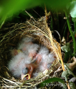 Five little baby finches in the nest. They are just fuzzy right now with big black looking eyes that are still closed.