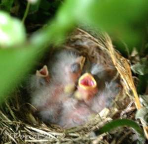 Three baby wrens with their mouths open waiting for some food to be put in their mouths.