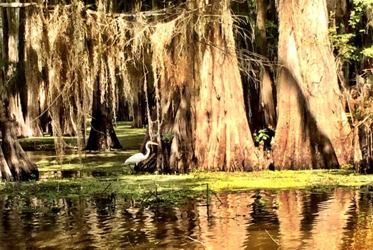 large cypress trees under brown water with a white bird in the middle