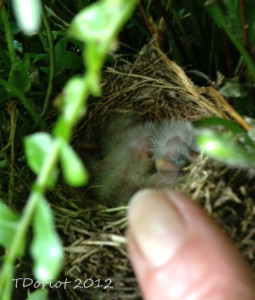 The baby birds quickly go back to sleep, I put my index finger in the picture frame to show the perspective of the size difference.